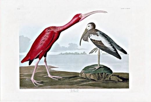 Scarlet Ibis Audubon