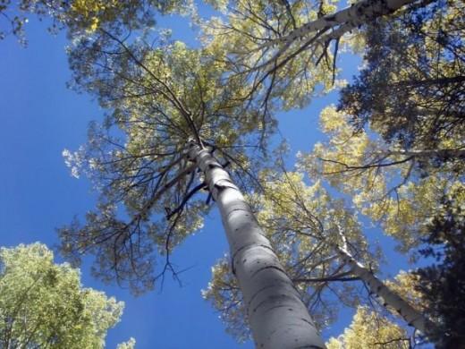 Flagstaff Arizona Aspens
