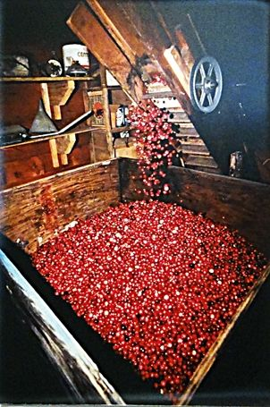 Cranberry Sorting