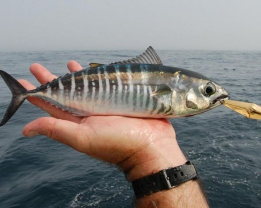 Baby Bluefin Tuna