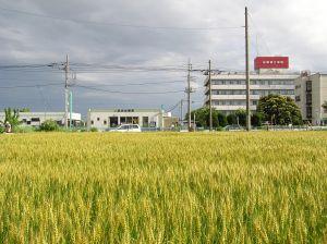 urban wheat field