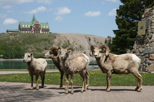 bighorn sheep downtown