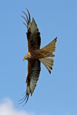Red Kite - Bird of Prey
