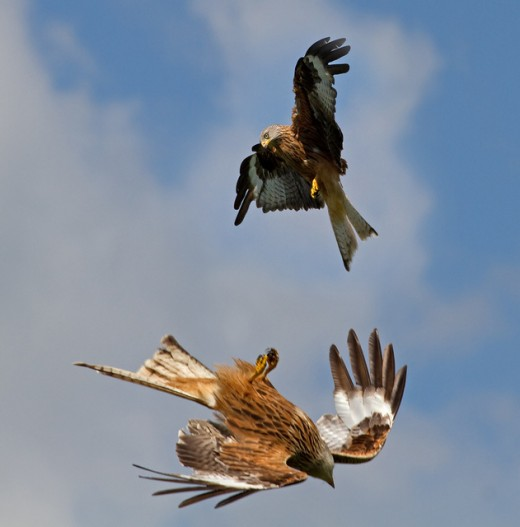 Red Kites at Rhayader feeding centre