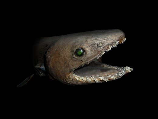 A Frilled Shark - Check out the teeth on this guy!