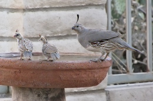 Gambel's Quail mother and chicks