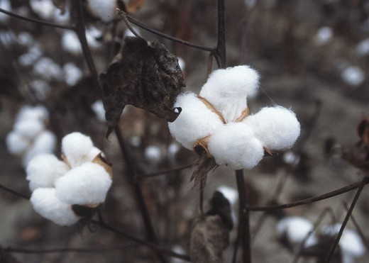 Cotton that's ready to be picked