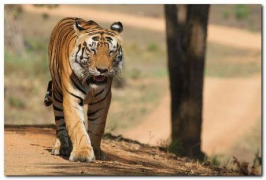 Male Tiger at Kanha