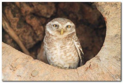 Forest Spotted Owlet