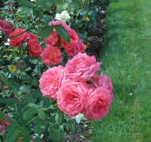 Roses in Hershey Gardens