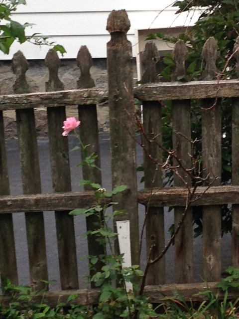 The pink rose bloomed on a dead rose bush in my backyard on September 15th.