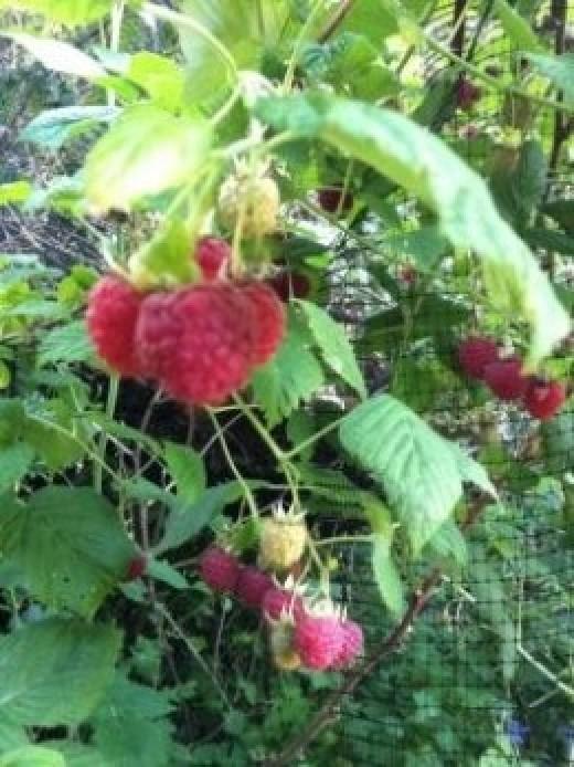 Raspberries - Copyright of Author