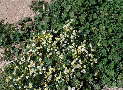 Chamomile grows all over Greece, along with poppies.