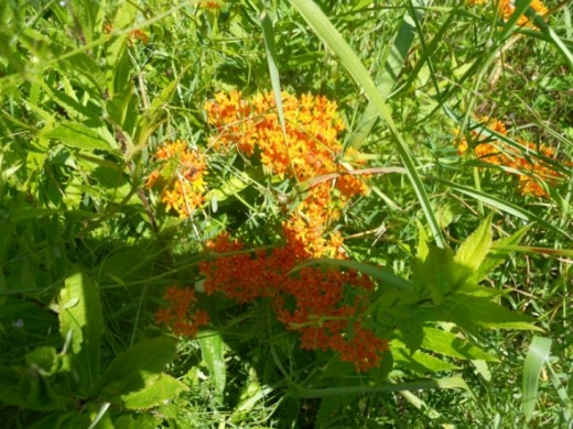 Butterfly Weed -
