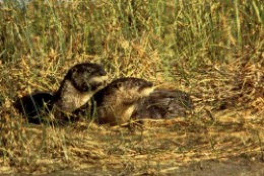 River-otters