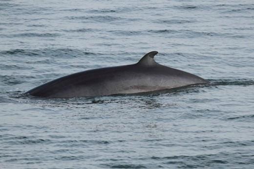 Minke Whale, by Cephas