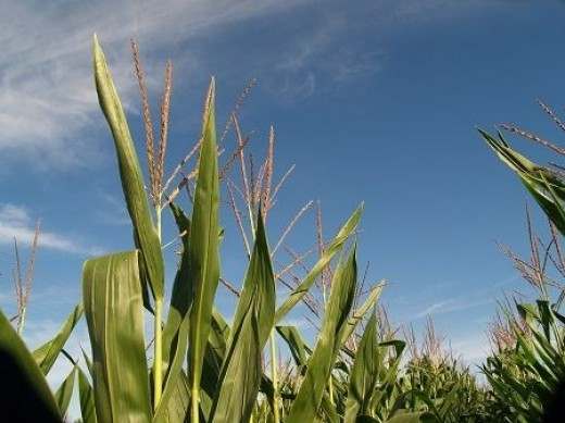 We can make ethanol from corn