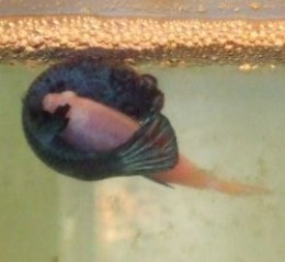 Betta breeders canada betta fish care for How much does a betta fish cost