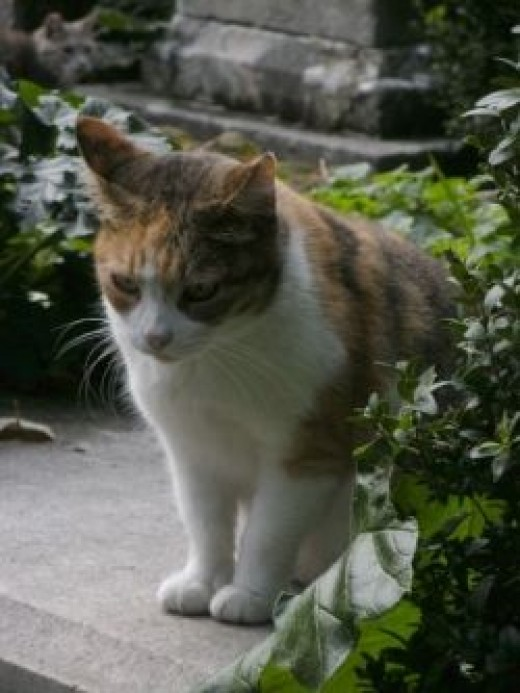 One of the cats in the Protestant Cemetery of Rome