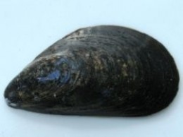blue mussel shell