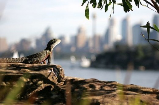 Water Dragon looking over Sydney Harbour