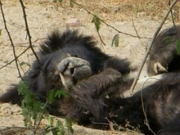 Contented Rescued Bear At Wildlife S.O.S. Agra Sanctuary In Agra