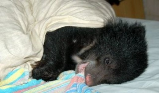 A rescued cub at Wildlife S.O.S. Sanctuary