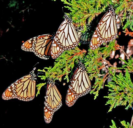 Monarch butterflies roosting overnight in a cedar tree in rural McLean Cty, IL