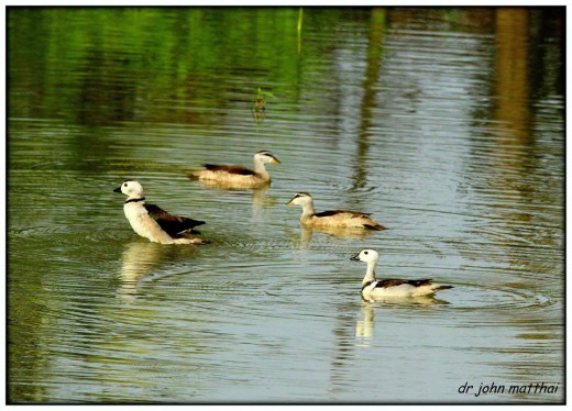 Cotton Pygmy Goose Resident Bird