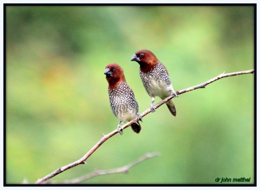 Scaly Breasted Munia Pair