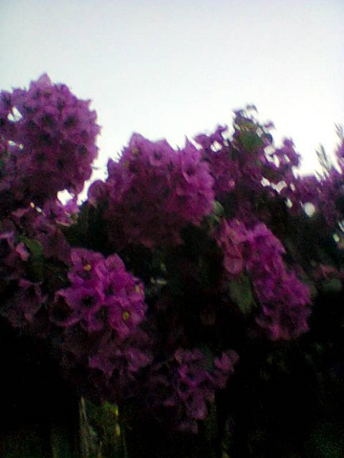 My beautiful bougainvillea.
