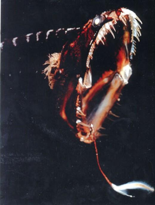 Dragonfish's immense jaw