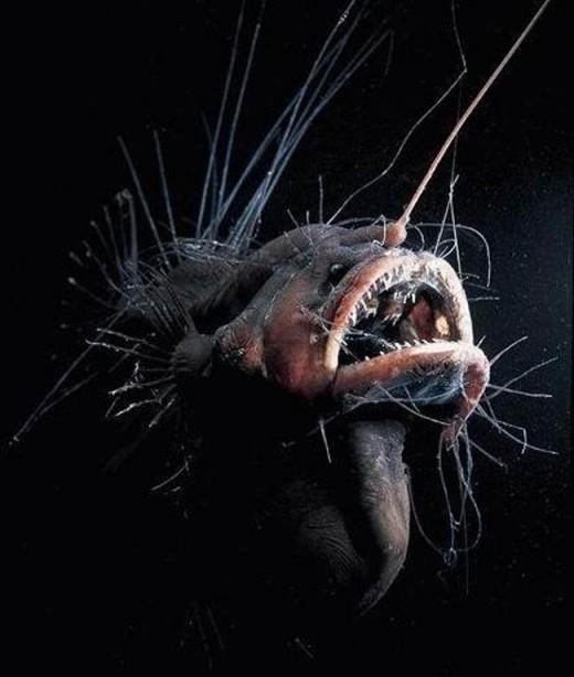 Fanfin Angler fish