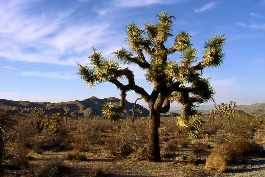 Joshua Tree National Park is located in the southeastern section of California and features very unique trees.
