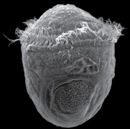 Trochophore