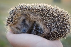 Guide To Raising Pet Hedgehogs