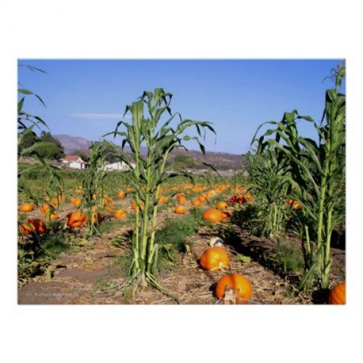 A field full of ripe pumpkins taken by Hallocard on Zazzle.