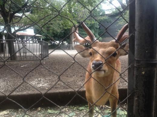 A deer at a park near a temple.
