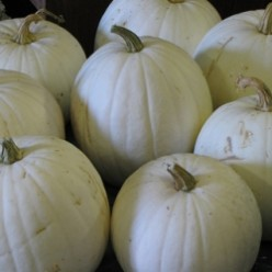 Growing White Pumpkins