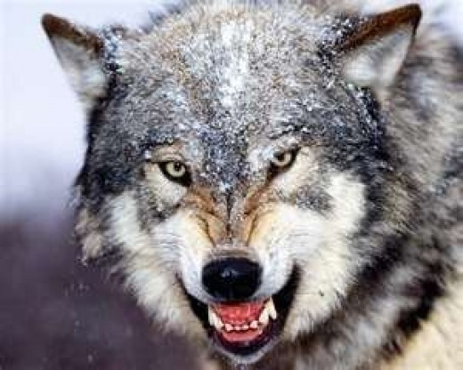 Image credit: http://infowyo.com/2011/05/wolves-off-the-feds-endangered-species-list-except-wyo/