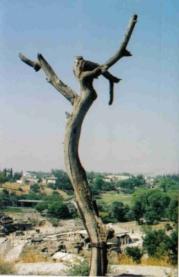 A naturally formed tree that is in the shape of a cross at Bet Shean.  Here Jesus Christ Superstar was filmed.