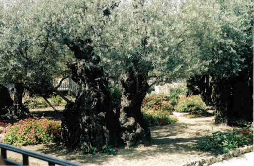 2,000 year old Olive Trees from the Garden of Gethsesamene.