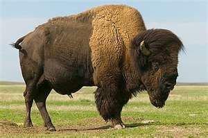Bison Image Credit: http://www.doorsopening.wordpress.com/