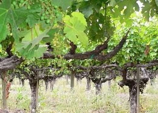 California grape orchard