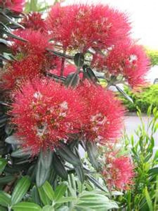 Pohutukawa tree, known as New Zealand's Christmas tree