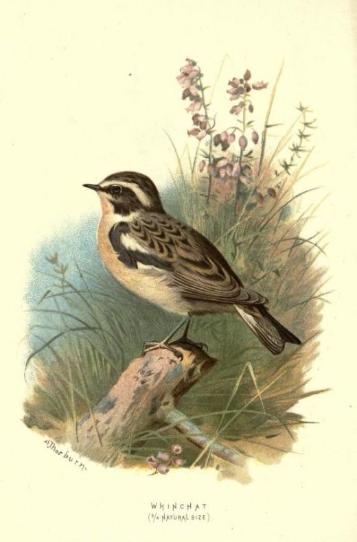 Familiar Wild Birds  Swaysland 1883