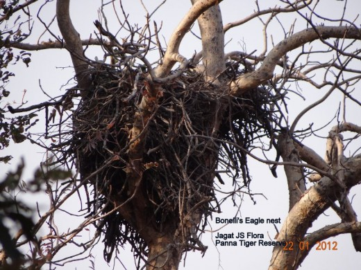 Bonelli's Eagle Nest
