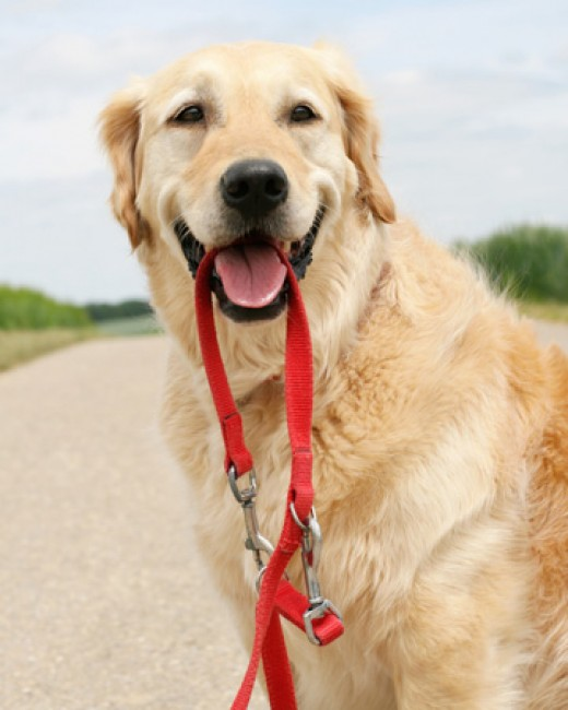 A dog waits with his leash to go for a walk.