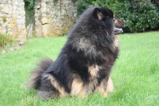 Eurasier Dog - Benda