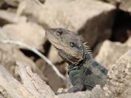 Dragon Lizard - Image courtesy http://www.canoeandkayakhirekangaroovalley.com.au/
